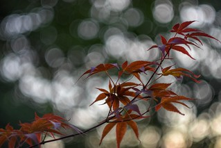 Japanese maple in my garden.