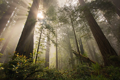 Cathedral (Sapna Reddy Photography) Tags: fog mist sunbeams beams forest light foliage redwoods sempervirens sequoia giant tree wood woods california delnorte coastal