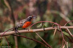 Loica (sturnella loyca loyca) (Miguel Muñoz Villablanca) Tags: loica aves birds santiagodechile santiago chile cordilleradelosandes longtailed meadowlark austral kestrel