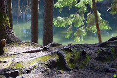Roots surfacing (petrOlly) Tags: europe europa slowakei slovakia slovensko słowacja sk2018 nature natura przyroda landscape water tree trees vrbickémountainlake demänovskávalley