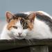 I'm watching you (pstani) Tags: barfordtop england europe greatbritain leicestershire saddington animal cat fauna pet