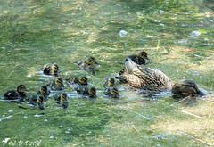 C'est l'heure du repas :-) (jean-daniel david) Tags: oiseau oiseaudeau canard colvert caneton nature eau réservenaturelle reflet yverdonlesbains suisse suisseromande vaud bébé