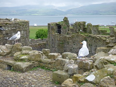 Beaumaris Castle - Inner Wall Walk - seagulls (ell brown) Tags: anglesey isleofanglesey ynysmon wales unitedkingdom greatbritain beaumaris biwmares dindaethwy tindaethwy porthywygyr portofthevikings beaumariscastle kingedwardi civilwar llanfaes madogapllywelyn newborough fairmarsh normanfrench beaumareys jamesofstgeorge castellbiwmares cadw ruined castlesandtownwallsofkingedwardingwynedd unesco worldheritagesite unescoworldheritagesite scheduledancientmonument bulkeleyfamily innerwall seagull seagulls menaistrait
