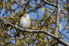 Tawas Point S.P.: Red-eyed Vireo (donna lynn) Tags: 2018 may michigan tawaspointsp nature wildlife outdoors birds birding passerines redeyedvireo vireoolivaceus passeriformes familyvireonidae