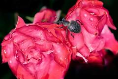 à manger et à boire (rondoudou87) Tags: bug insecte flower fleur rouge rose red garden jardin nature natur macro color couleur close closer colors couleurs droplet drop dof dark bokeh light lumière goutte gouttes pentax k1 rondoudou87