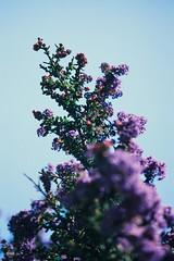 Untitled (agataurbaniak) Tags: leica m m5 leicam leicam5 film analog analogue 35mm rangefinder flower flowers foliage canon ltm m39 leicathreadmount 135mm 135 f35 35 canon135mmf35ltm fuji fujichrome velvia 50 50asa velvia50 color colour transparency positive slide 35mmfilm 135film