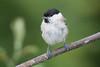 Marsh Tit-217 (davidgardiner8) Tags: birds eastsussex garden marshtit tits