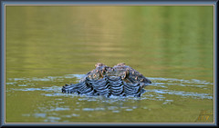 He did swim away!! (WanaM3) Tags: wanam3 nikon d7100 nikond7100 texas pasadena horsepenbayou bayou outdoors nature wildlife canoeing paddling animals reptile apexpredator predator gator lizard alligator alligatormississippiensis