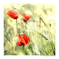 poppy in the wind... (Der Zeit die Augenblicke stehlen) Tags: poppy mohn kornfeld hth