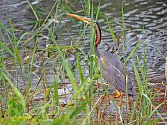 Garza imperial (Ardea  purpurea) (59) (eb3alfmiguel) Tags: aves acuaticas ciconiiformes ardeidae de garza imperial ardea purpurea pájaros hierba pájaro animal agua