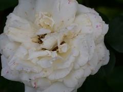 P1000351 (LOLODUTERRIER) Tags: fleur été rouge rose mauve jaunes lys pavot marguerite parfum macro senteur