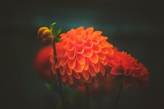 Dahlia (Dhina A) Tags: sony a7rii ilce7rm2 a7r2 a7r wollensak 3inch 75mm f19 oscilloraptar 109x wollensak75mmf19 bokeh 19 oscilloscope dahlia flower