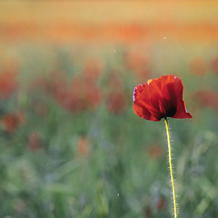 Alone in a field of many (Gnome Girl!) Tags: england unitedkingdom gb poppy flower summer field village uk 2018 sunset bokeh red pretty