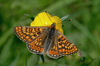 Euphydryas aurinia - the Marsh Fritillary
