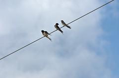 Tree swallows on a wire (nrparsons) Tags: lakeapopkanorthshore apopka bird wildlife birding trail florida water lake smcpda300mmf40edifsdm aficionados