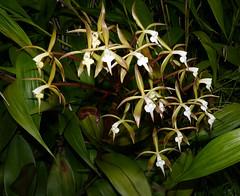Epidendrum lacustre species orchid (nolehace) Tags: epidendrum lacustre species orchid 518 spring nolehace sanfrancisco fz1000 flower bloom plant