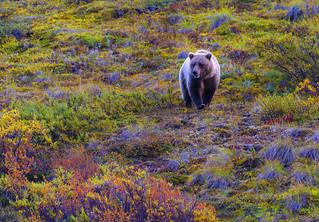 Brown Bear in Denali