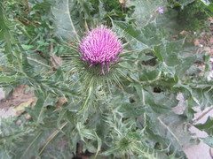 A lone thistle in the centre of Madrid, Paseo del Prado. (d.kevan) Tags: plants flowers thistles spain madrid paseodelprado curiosities centralmadrid leaves wildflowers