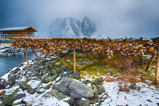 Traditional Drying Cod Bunches at Wooden Piles at Lofoten Islands At Late Winter Time