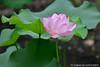 Lotus (szintzhen) Tags: 荷花 植物 葉 花 台北市 台灣 lotus flower leaf taipeicity taiwan