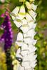 """White Gloves"" (Adam Swaine) Tags: foxglove flora flowers summer england english britain british seasons petals beautiful londonparks colours parks peckhamryepark sexbys canon park purplegreen white macro"