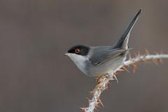 Occhiocotto (melissa.bertoni96) Tags: wildlife photography wild nature grey morning light set animal bird
