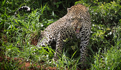 It's High Time ... (AnyMotion) Tags: africanleopard pantheraparduspardus leopard angry hissing fauchend cat cats katzen katze 2018 anymotion tarangirenationalpark tanzania tansania africa afrika travel reisen animal animals tiere nature natur wildlife 7d2 canoneos7dmarkii ngc npc