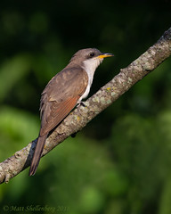 Yellow-billed Cuckoo (Matt Shellenberg) Tags: bird tree yellowbilled cuckoo yellowbilledcuckoo illinois nature wildlife matt shellenberg