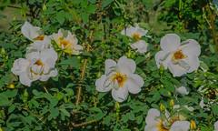 Roses (frankmh) Tags: plant shrub rose sofiero helsingborg skåne sweden