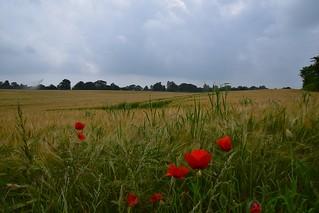 Barley Field & Poppies, Suffolk 01 06 2018