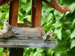20180601Steiermark Garten Oberzeiring Vogel2v3 Vogelhaus AngelikaMy (rerednaw_at) Tags: steiermark garten oberzeiring vogel vogelhaus angelikamy