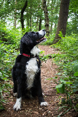 Looking Up (Captain192) Tags: dogs dog collie spaniel spanielcolliecross sprollie bordercollie outwoods theoutwoods woods trees paths