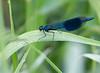 Banded Demoiselle (Calopteryx splendens) - Clyst St Mary Bridge  - May 2018 (Dis da fi we) Tags: banded demoiselle calopteryx splendens calopterygidae clyst st mary bridge species damselfly
