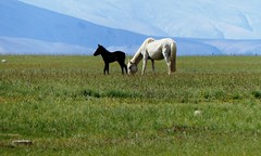 Mare with foal - Tso Moriri - Ladakh - Kashmir 4522m Altitude (forest venkat) Tags: horse mare with foal grass animal sky mountains mountain fields field landscape