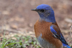 Western Bluebird {Explore #4} (Grosbeak Guy) Tags: