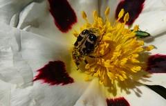 Trichius zonatus (J Carrasco (mundele)) Tags: guadalupe lasvilluercas extremadura insectos coleoptera scarabaeoidea cetoniidae trichius