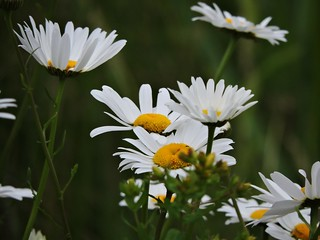 White Flowers (old photo)