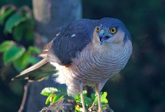 Sparrowhawk (John Assheton) Tags: sparrowhawk raptor wales powys