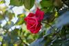 2018 Spring rose (shinichiro*) Tags: 20180505sdim2707 2018 crazyshin sigmasdquattroh sdqh sigma1770mmf284dcmacrohsm may spring flower rose yokohama kanagawa japan jp 41658344904 candidate