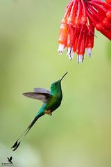 Eyes on the Prize (Osprey-Ian) Tags: hummingbird altonieva owletlodge bootedrackettailmale