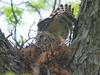 Wing Stretch (Kaptured by Kala) Tags: buteolineatus hawk raptor predator whiterocklake dallastexas nesting nest hawknest redshoulderedhawk reinhartbranch nestingseason mamaredshoulderedhawk stretching wing brooding foot