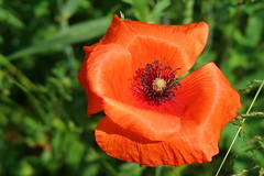 Poppies (ZdenHer) Tags: poppies flower macro
