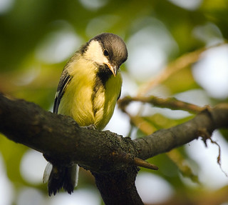 (not yet) Great tit