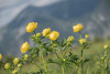 Európai zergeboglár (Trollius europaeus) (Torok_Bea) Tags: európaizergeboglár trolliuseuropaeus boglár alpok raxalpok raxalpe austria mountainflower nikon nikond5500 sigma flower flowers beautiful