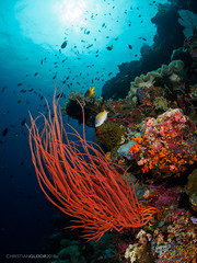 Fishscape (Christian Gloor (mostly) underwater photographer) Tags: fish whip coral wakatobi tomia sawa indonesia sulawesi red blue diving underwater