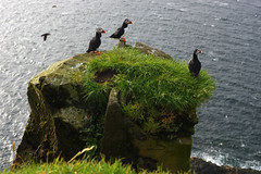 Puffins of Mykines (Gregor  Samsa) Tags: north deep nort deepnorth faroe faroes faroeislands summer june july hike hiking walk walking journey trip exploration island islands wild wilderness outdoors atlantic scenic scenery nature path footpath trail mykines