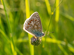Common Blue Butterfly (niloc's pic's) Tags: commonbluebutterfly polyommatusicarus blue butterfly insect birlinggap southdowns eastsussex panasonic lumix dmcgh4r