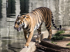 Tiger at the National Zoo (dckellyphoto) Tags: washingtondc washington districtofcolumbia dc 2018 nationalzoo zoo animal animals nationalzoologicalpark smithsonian