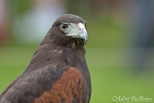 Harris's Hawk (Explored)