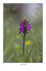 wilde orchidee in mijn tuin (maar73) Tags: wildeorchidee wildorchid maar73 macro flower sun bloem tuin garden sonya6300 sonyfe90mmmacro